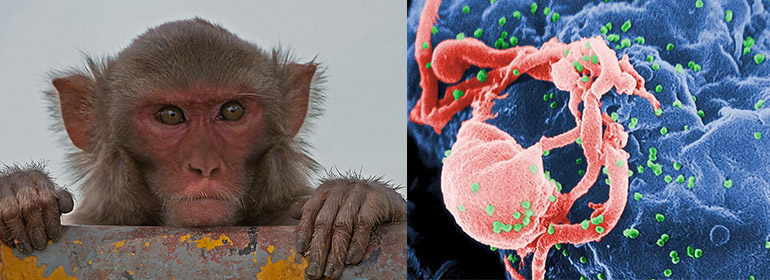 rhesus monkey hiv
