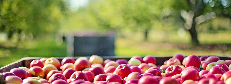 A bushel of apples indicative of the €13b apple's tax bill which could be used by Ireland to help with LGBT issues
