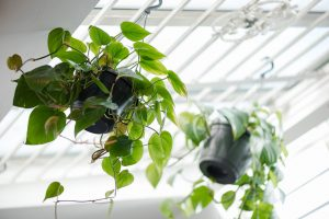 Two ceiling plants in Two Boys Brew café
