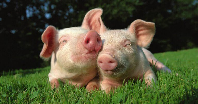 An image released by animal rights group PETA featuring two little pigs snuggling in a field