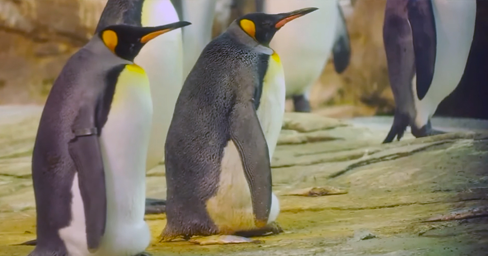 Egg cared for by same-sex penguin couple fails to hatch