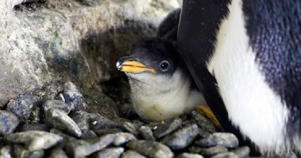 same-sex-penguin-couple-welcome-adopted-chick