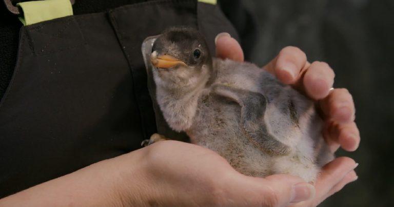 same sex penguin